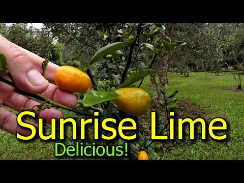 Sunrise Lime Tree Fantastic Citrus Variety To Grow
