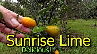 Sunrise Lime Tree Fantastic Citrus Variety to Grow