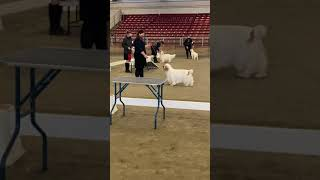 Whidbey Island KC  Clumber Spaniel Best of Breed judging Nov. 15, 2020.