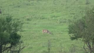 Благородный олень питается естественным кормом