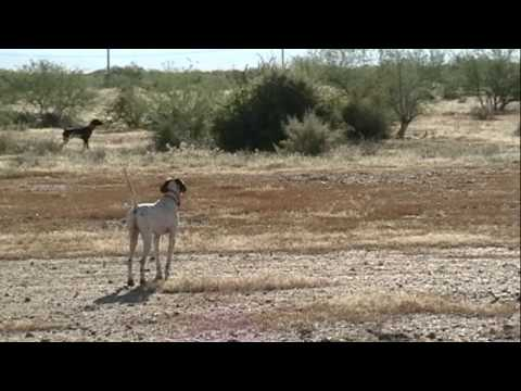 English Pointer  – Training Video – Backing