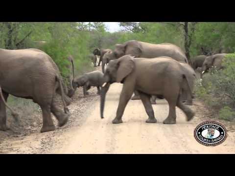 Hluhluwe Umfolozi Game Reserve, KwaZulu Natal Elephant herd (50)  crossing road