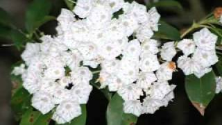 Mountain Laurel.mp4