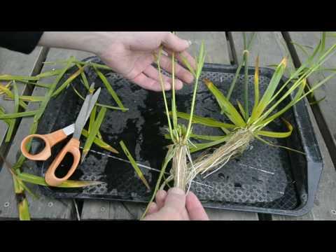 Nile grass - Propagation