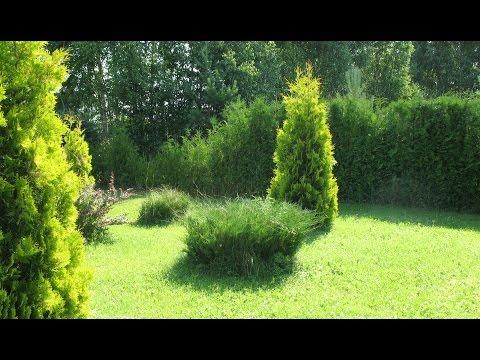 Дизайн участка. Красивые цветы. Живая изгородь из хвойных. Ель, сосна, туя. Полевые цветы.