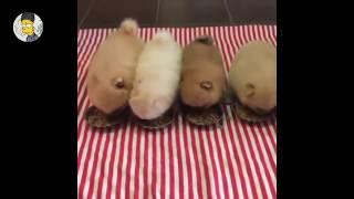 ☆ 걸어다니는 솜사탕 포메라니안 영상 모음 ★ Pomeranian