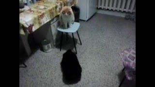 Щенок чау-чау и кот