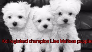 Kci registerd champion line Maltese puppies for sale ll Maltese pricell Maltese pupp