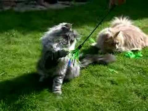 Norwegian Forest Cat Playing