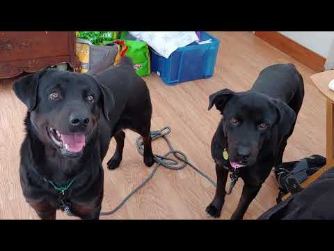 Rottie-Lab Mix Sisters Available For Adoptin