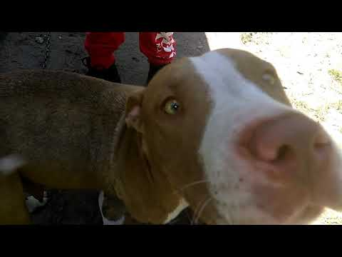 Badd Rap Kennels puppy update ||  the last of the Mohicans || APBT