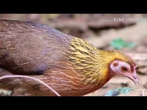 Poj Qaib Seev Thiab Tsauj Tuaj Zoo Heev