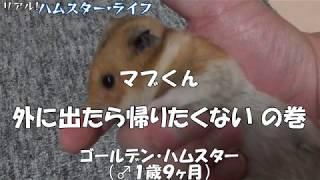 ハムスター 深夜の散歩 まだ帰りたくないのね【Hamster】 thumbnail