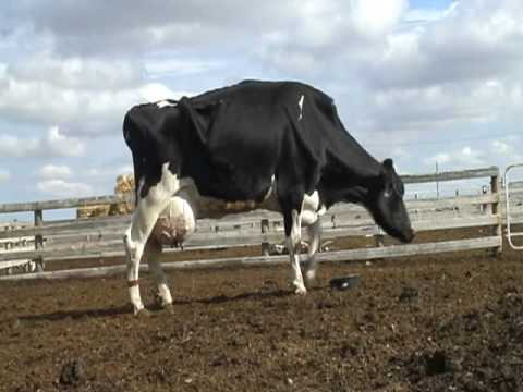 Emaciated laming cow with mastitis and teat cut off at auction
