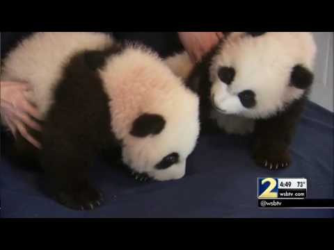 Channel 2 Action News gets an up close look Zoo Atlanta's baby panda twins