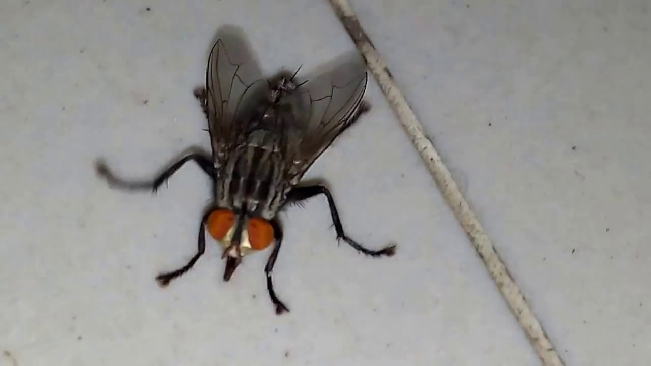 house fly - YouTube
