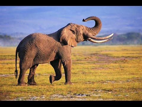 African elephants in their habitat youtube - Image elephant ...
