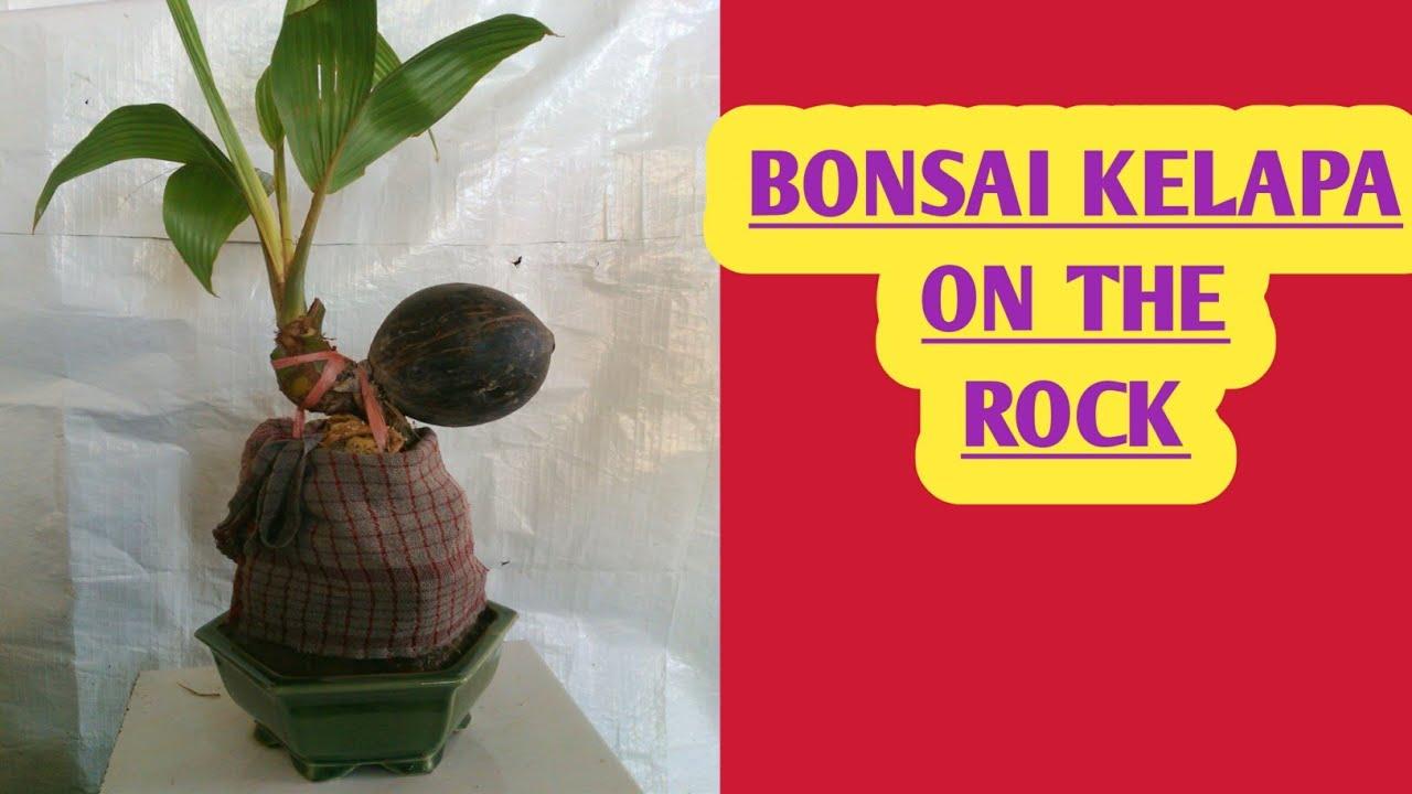 Cara Membuat Bonsai Kelapa Di Karang On The Rock Youtube