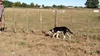 Sheepdog Training Methods With Maurie Hone