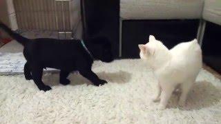 Лабрадор против кошки. Первый день дома