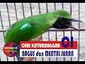 Ciri Ciri Cucak Ijo Yang Bagus Dan Bermental Juara  Mp3 - Mp4 Download