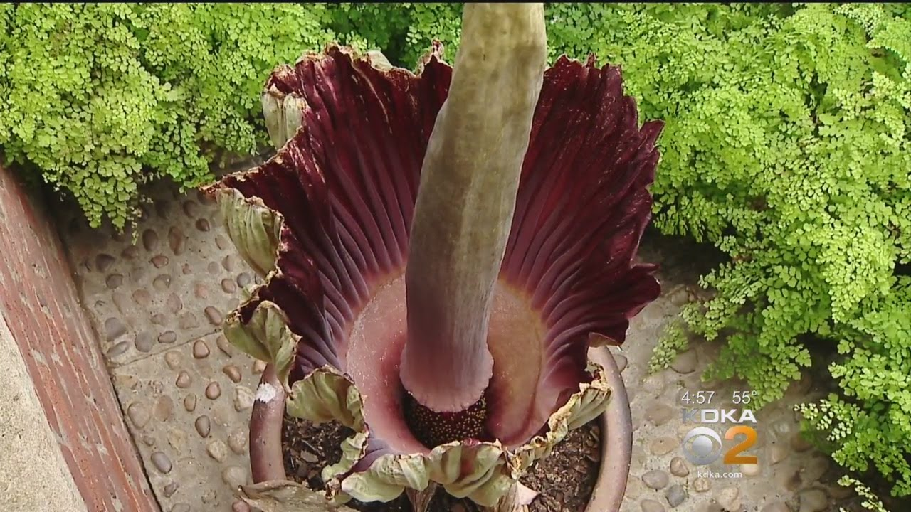 Rare Corpse Flower In Bloom At Phipps Conservatory - YouTube