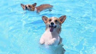 Funny Corgi Swimming Videos Compilation - Baby Corgis Dogs 101 - Too Cute Corgi Puppies Playing