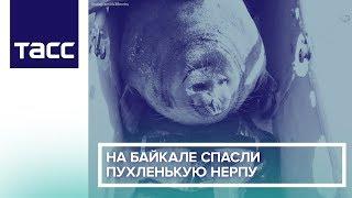На Байкале спасли пухленькую нерпу