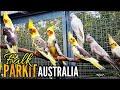 Mengenal Parkit Australia Falk Dan Harganya  Mp3 - Mp4 Download