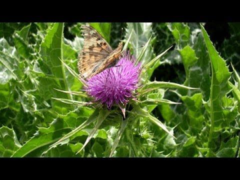 Трава Расторопша: свойства, применение, лечение травами ~ чертополох