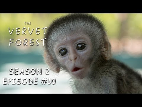 3 Day Old Tiny Orphan Baby Monkey Rescued & Update On Brain Damaged Baby - Vervet Forest - S2 Ep.10