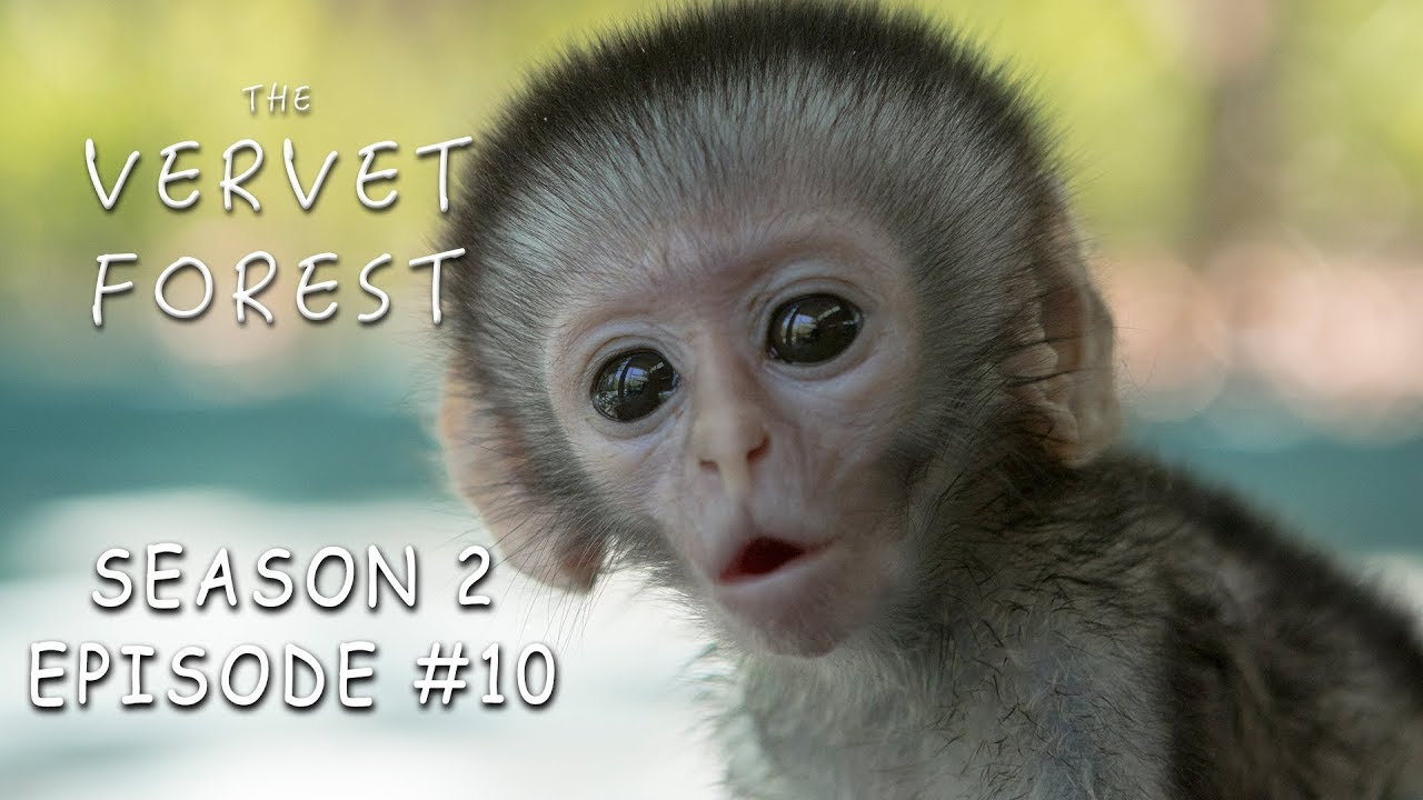 Download 3 Day Old Tiny Orphan Baby Monkey Rescued & Update On Brain Damaged Baby - Vervet Forest - S2 Ep.10