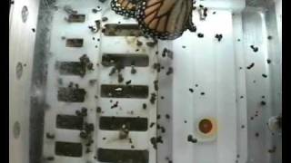 Butterflies in Space, Monarch, Flight, Wide Angle, 12-03-09, BioServe