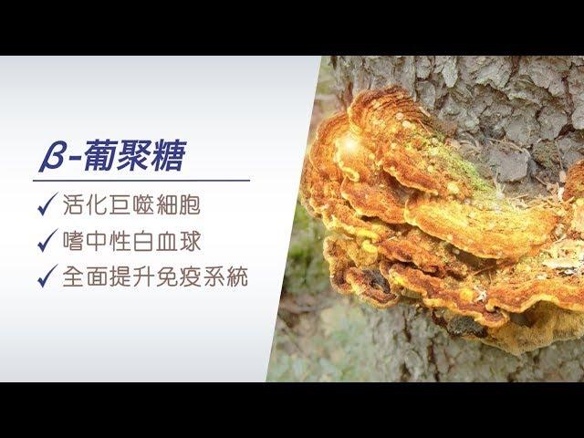 【養命教室】桑黃有效增加白血球