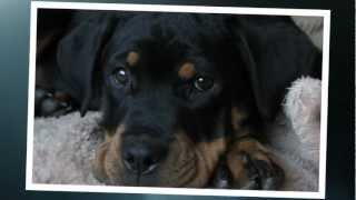 Scarlett Rottweiler Movie