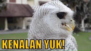 Mengenal Jenis Burung Hantu    TAU GAK SIH (26/03/20)