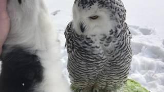 シロフクロウとシベリアン・ハスキー、雪景色の中でいちゃこらがとまらない