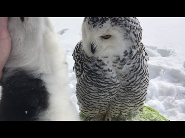 Owl & Husky -walking and love))) ПолЯрная сова Нюша и хаски Илона