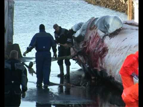 Whaling in Iceland - Part 2(5) - High Quality version (HQ), commercial hunting of whales