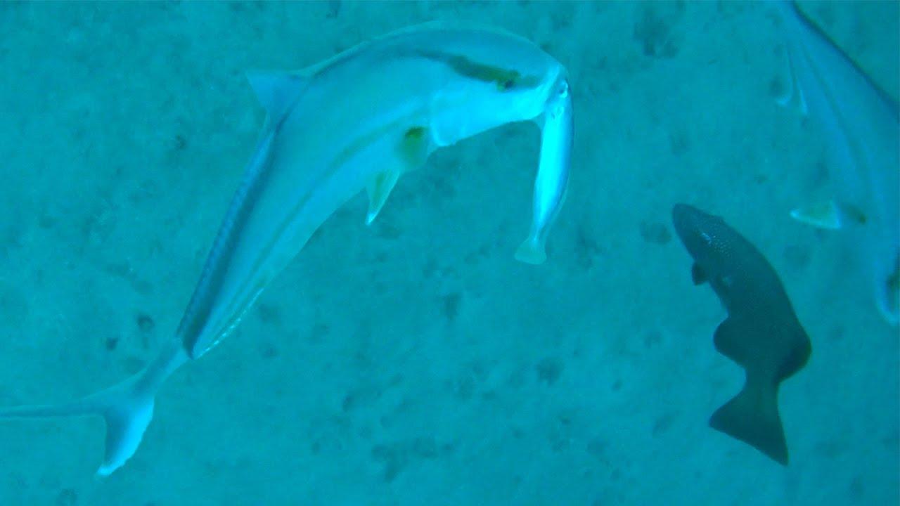 【大興奮!】泳がせた生餌が大魚に丸のみされる瞬間【奄美大島遠征 #5】