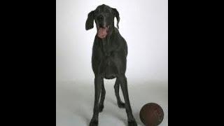 Gröster Hund der Welt