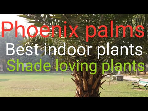 Best indoor plant / Phoenix🌴 palm / Canary palm