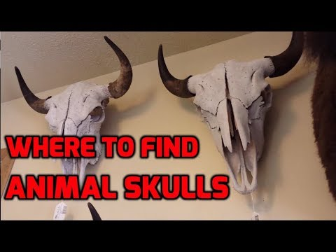 Where to Find Animal Skulls Locally for Skull Carving for Free!