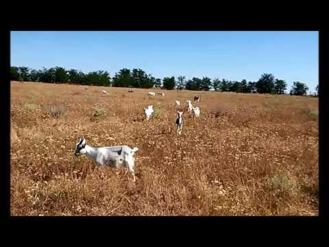 Шалфей лекарственный (трава) - Все травы - Алтайский травник
