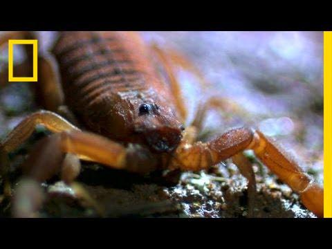 The World's Most Dangerous Scorpions | Planet Deadly |Worlds Most Venomous Scorpion