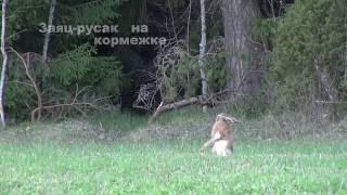 Заяц русак видео охота www.туризм-сибири.рф