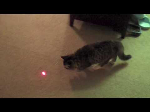 Guinness the Cat discovers a Laser Pointer - Funny Cat Video with Laser Pointer