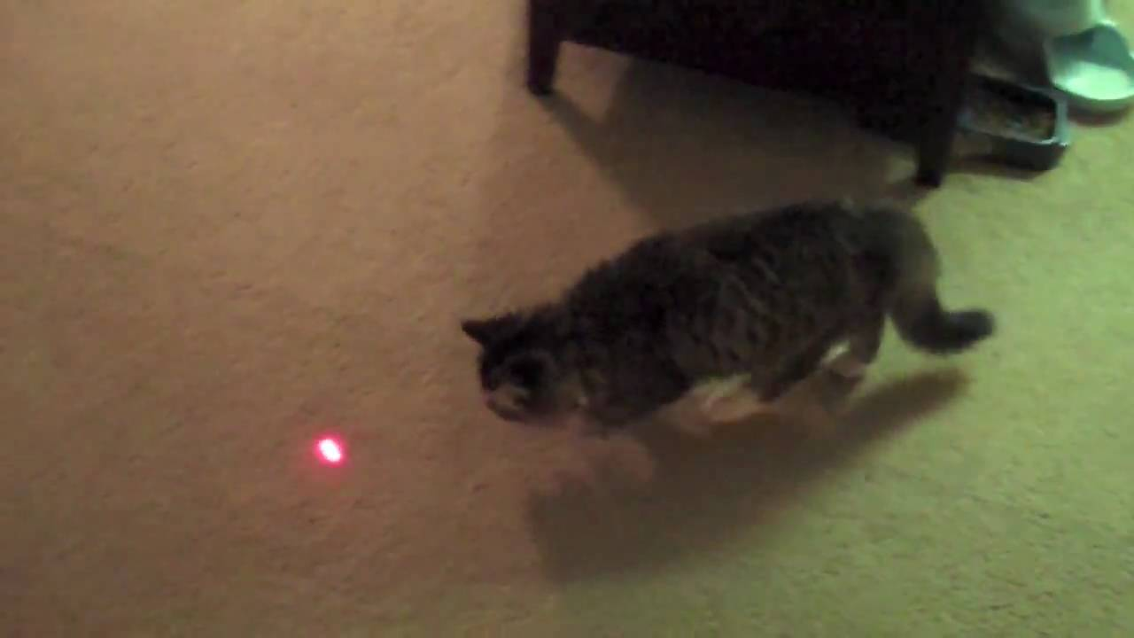 Cat Chasing Laser Gif
