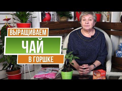 Как выращивать чай в домашних условиях