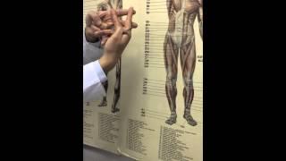 Мышцы верхней конечности 2(, 2014-12-06T21:08:53.000Z)
